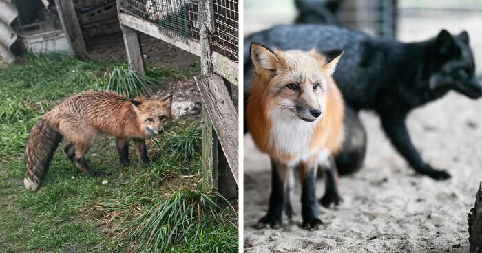 Activists Investigate A Fox Farm, Find A Fox Named Frania Among Others, And Give Her A New Life