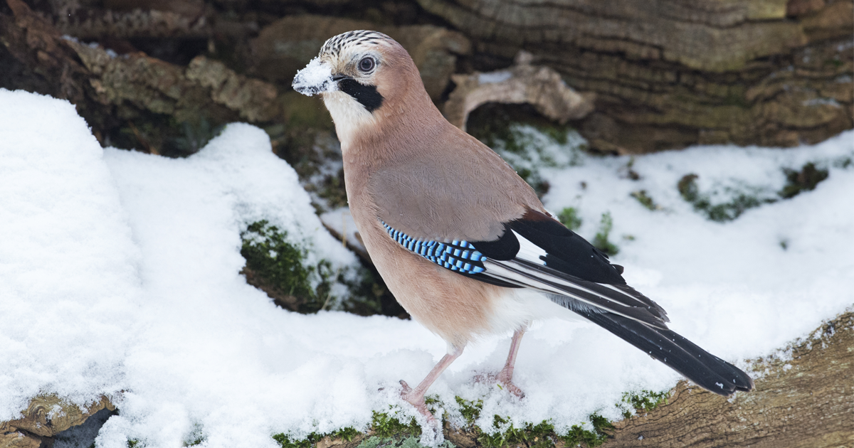 """I've Been Photographing Gorgeous Jays In My Garden For The Past Years And I've Learned To Tell Them Apart By Their Black And Blue """"Barcodes"""""""