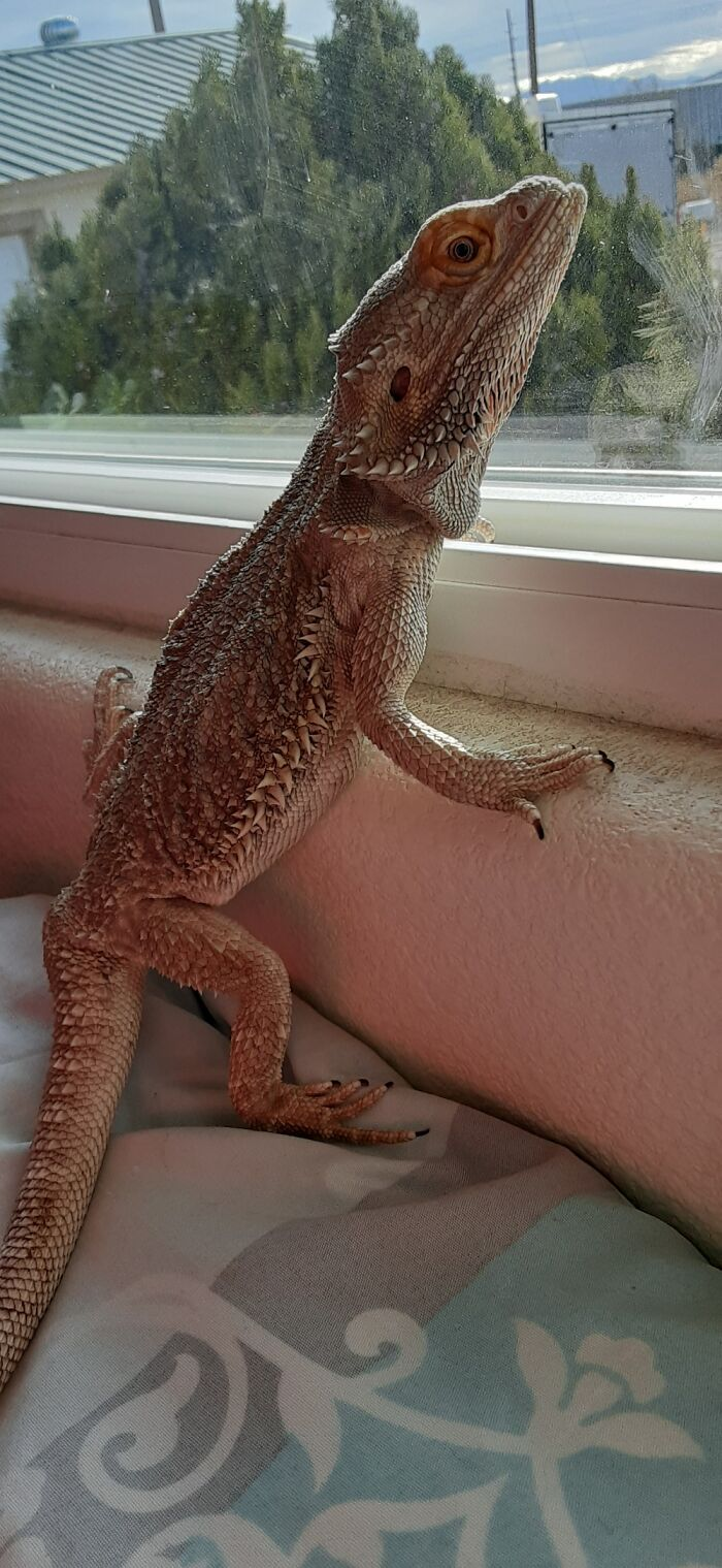 My Bearded Dragon Loves Looking Out The Windows And Watch The Cars Drive By.