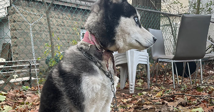 Dog Was Left Tied To A Fence All Alone For 5 Days Because His Owners Left Him When They Moved House