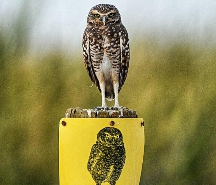 My 11 Pics Of Burrowing Owls Of The Salton Sea