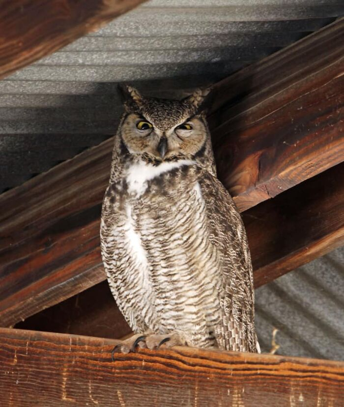 This Great Horned Owl Doesn't Believe A Word You Say