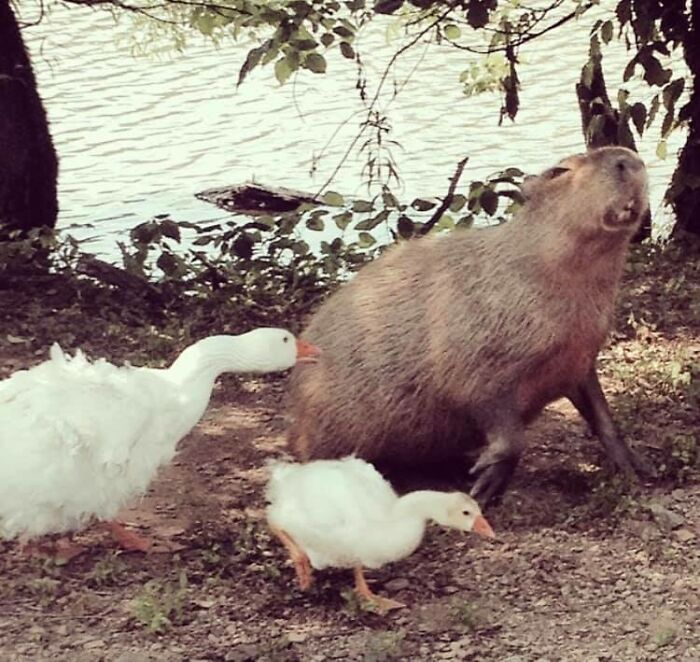 Here Is The Pic I Happened To Snap Once Of A Capybara Getting Snipped By A Goose. I Couldn't Believe It When I Saw What I Captured