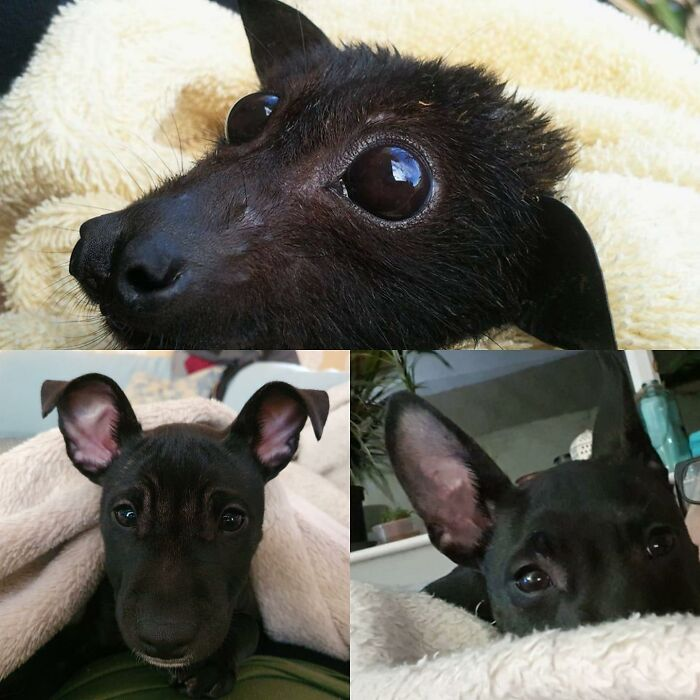 His Name Is Vinnie He Is 5months Old. He Is A Cross Between A Minature English Bull Terrier And A French Bulldog
