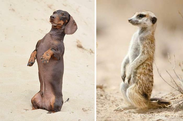 I Am Convinced I Have A Meerkat Not A Dachshund