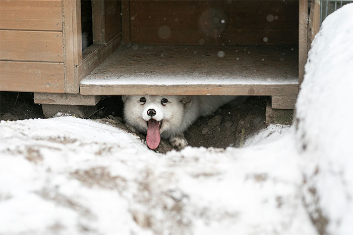 Here's How A Snow Fox We Rescued From A Fur Farm Reacted To Snow For The First Time In His Life