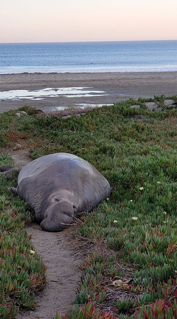 I Nearly Bumped Into This Blubbery Rock Yesterday And Let Me Tell You, When My Wife Pointed Out What It Was I Felt Very Close To Death. The Irony Is That We Had Just Given Up Spotting Any Elephant Seals After A Long Beach Walk Lol