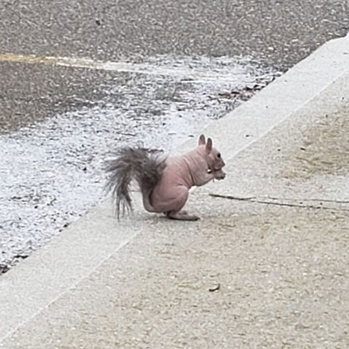 "Nudist Squirrels Of The Northern Bruce Peninsula. This Guy Has Been Around For 2 Years Now. He Doesn't Have Mange, As His Skin Is ""Clean"" (No Sores & Dry Skin Associated With Mange), Just Genetically Hairless. Hoping To See Him Come Springtime!!"