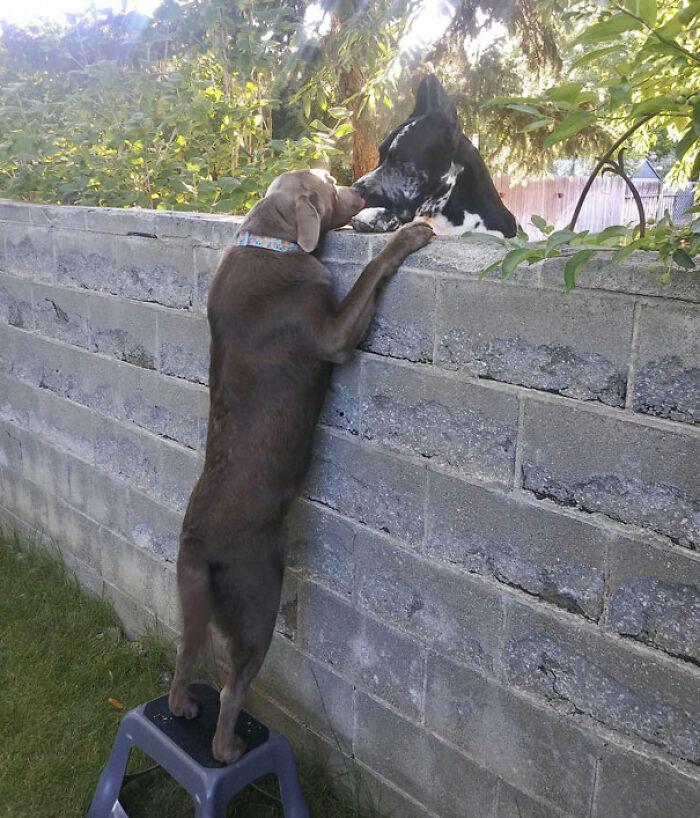 Nuestro Vecino Me Envió Esta Adorable Muestra De Pura Alegría Entre Nuestros Perros. Finalmente Le Consiguieron Un Taburete Para Que Pudiera Saludar A Su Gran Amigo Como Es Debido