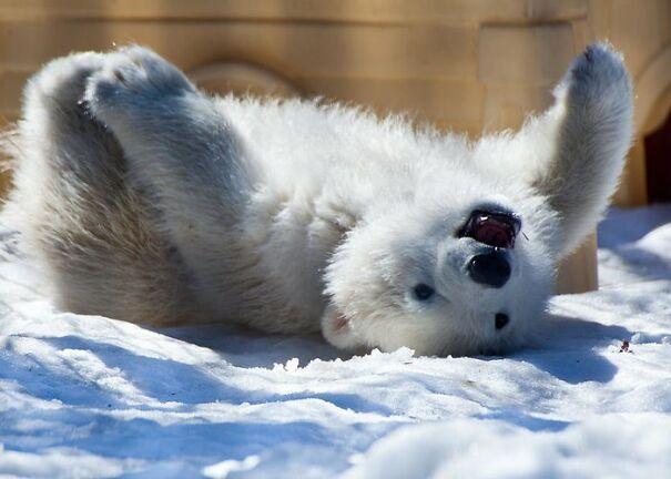 happy-polar-bear-cub-dora-miller-5fd25419a855d.jpg