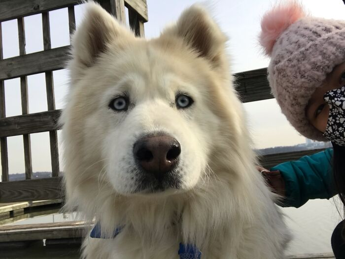 This Is Finn, He Is A Husky And Samoyed Mix