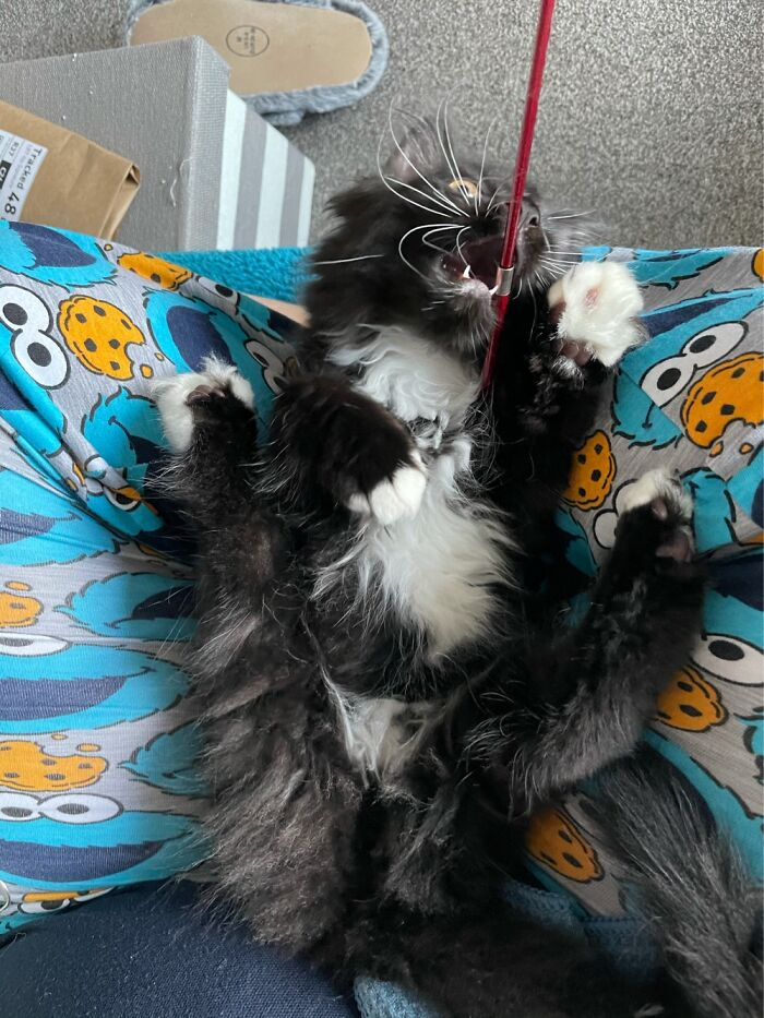 Maine Coon Kitten + Catnip = What Did You Expect?!