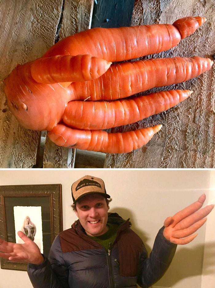 This Incredible Carrot Hand Was Found While Digging Juice Carrots At Our Farm Today