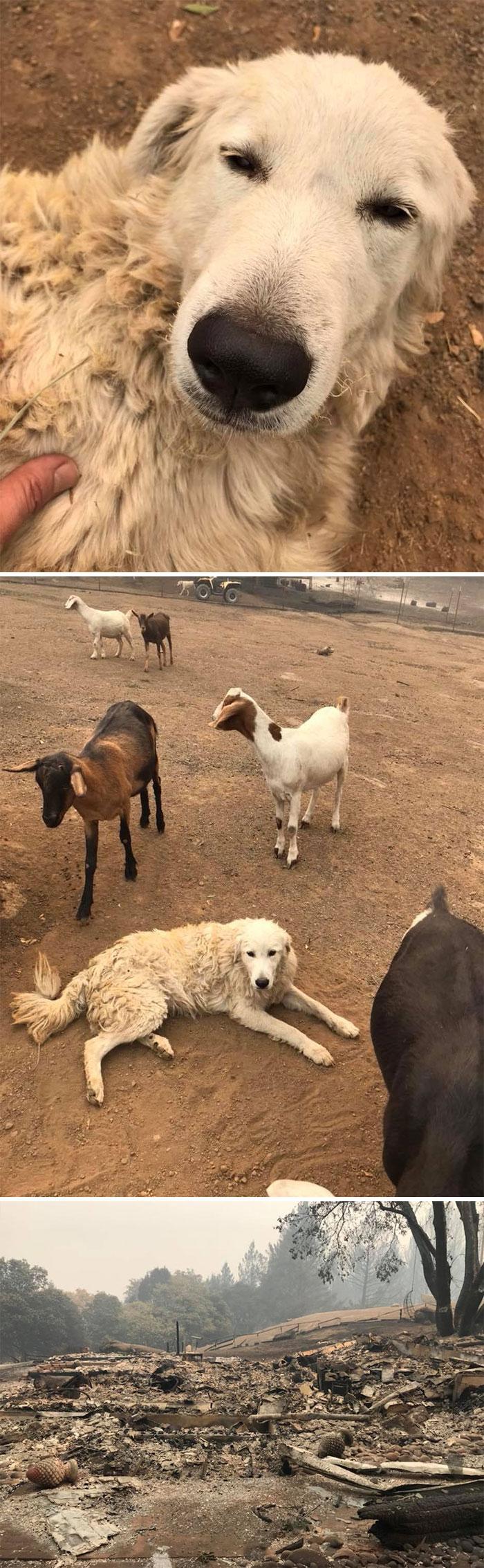 Un intrépido perro pastor de cabras llamado Odín se negó a abandonar su rebaño de cabras durante los mortíferos incendios forestales de California en 2017, mientras sus dueños corrían para ponerse a salvo. Días después, su familia regresó a su casa destruida y lo encontró a él y a las cabras con vida