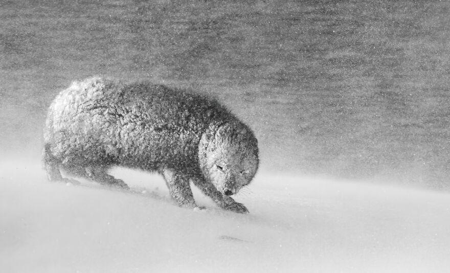 Category Black & White: Highly Commended, 'Caught In A Blizzard' By David Gibbon