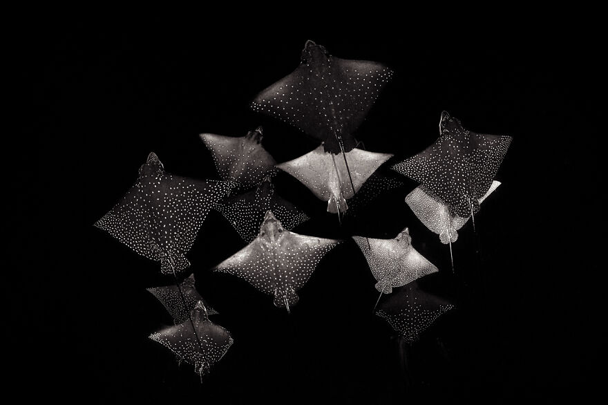 Category Black & White: Winner, 'Constellation Of Eagle Rays' By Henley Spiers