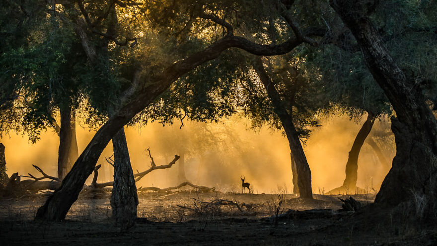 Category Mammals: Highly Commended, 'Golden Light With Impala' By Artur Stankiewicz