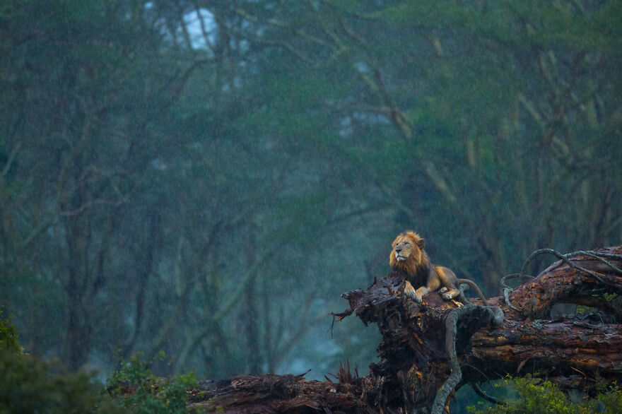 Category Mammals: Highly Commended, 'Heavenly Showers' By Neelutpaul Barua