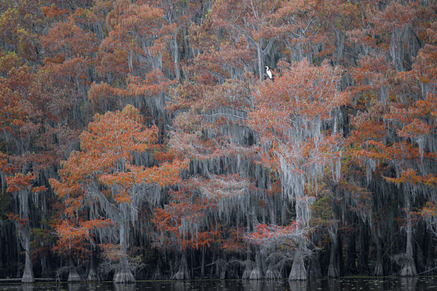 Category Birds: Highly Commended, 'Lone Egret Among Fall Colors Of The Cypress Swamp' By Rick Beldegreen