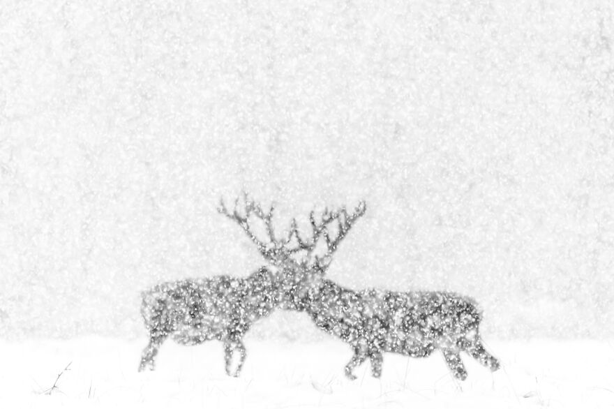 Category Black & White: Highly Commended, 'Red Deer In White' By Kevin Berghmans