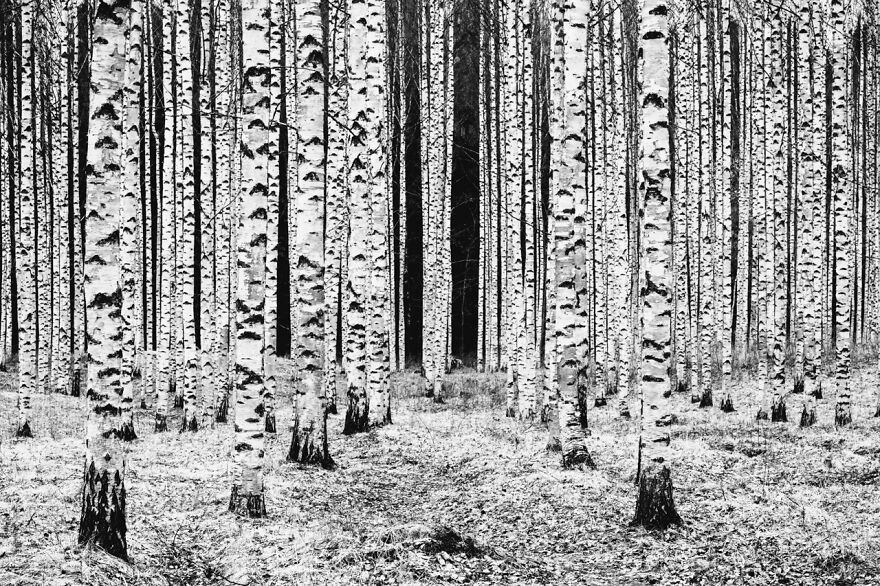 Category Black & White: Highly Commended, 'Birch Columns' By Kirsi Mackenzie