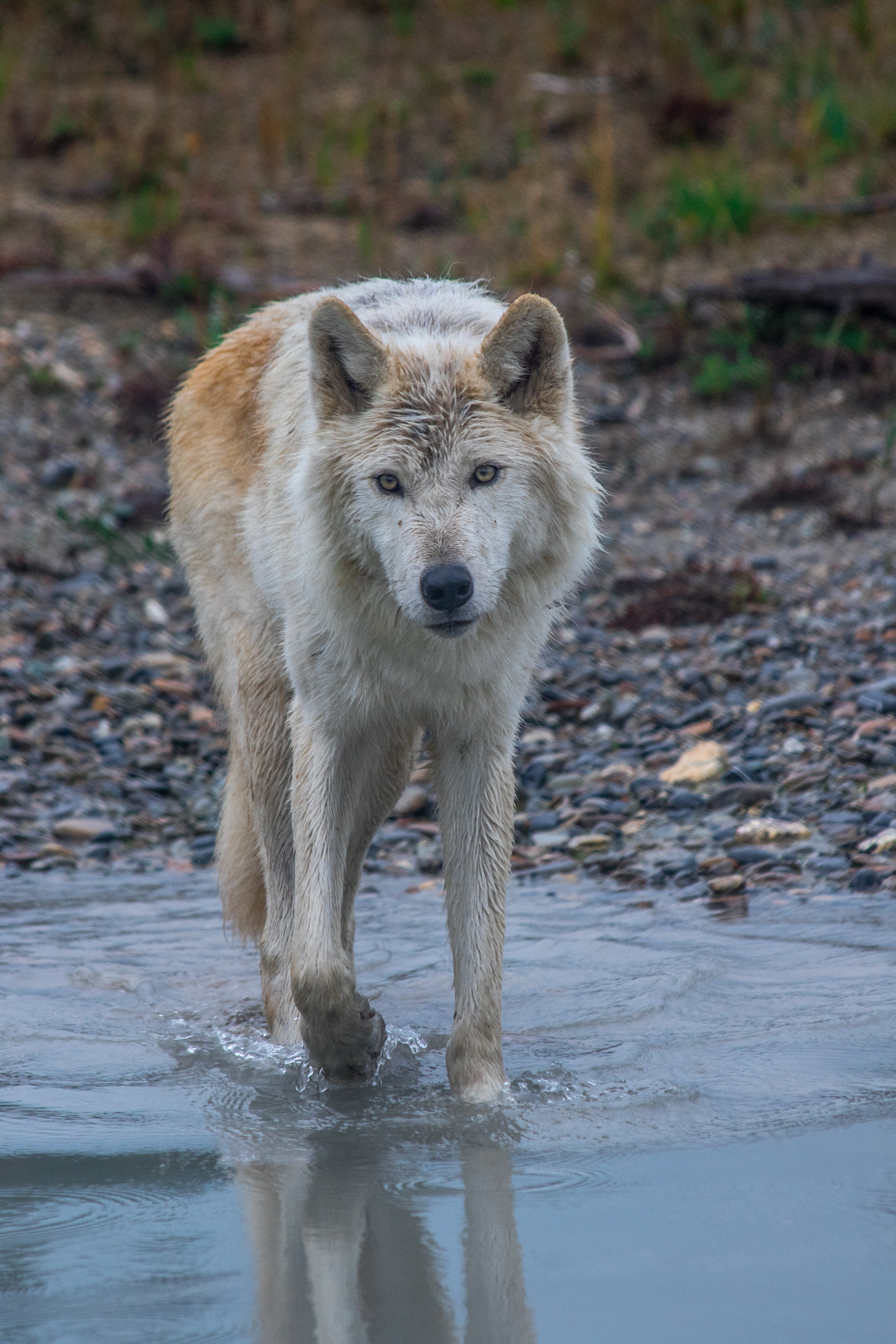 Imagine Living With Wolves