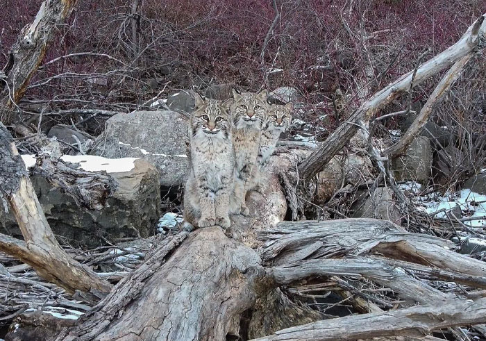 """I was about to leave, but I spotted something crossing the ice"": Photographer's Drone Captures 3 Adorably Comfy Wild Bobcats Chilling"