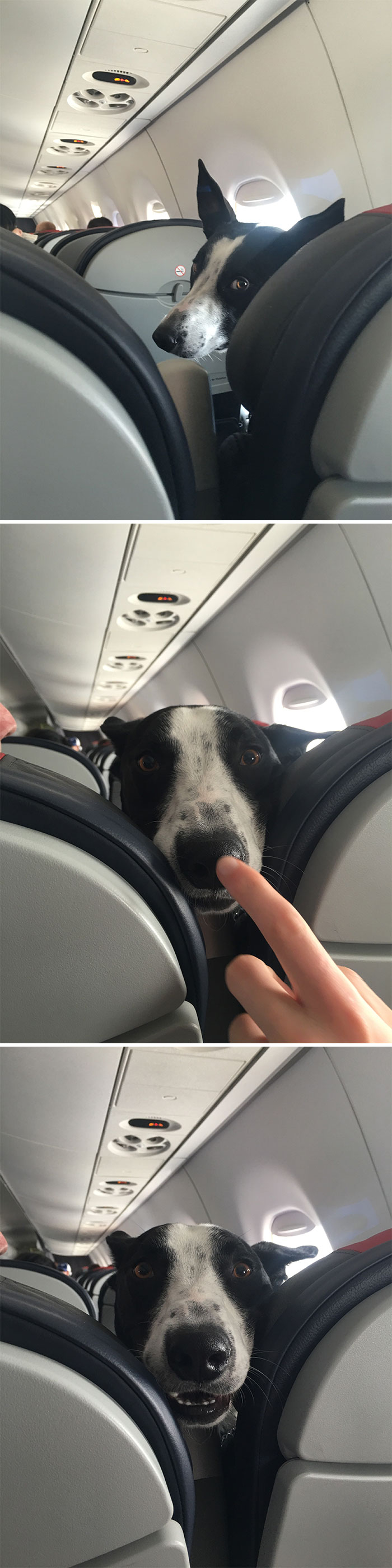I See Your Dog On A Plane And Raise You A Booped Dog On A Plane