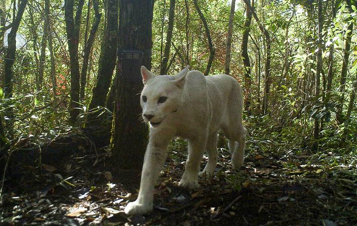Scientists Confirm The World's 1st-Ever Images Capturing A Leucistic Puma