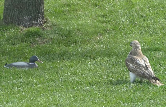 """Hawk Can't Seem To Wrap Its Head Around This """"Duck"""" Who's Not Reacting To Its Threats"""