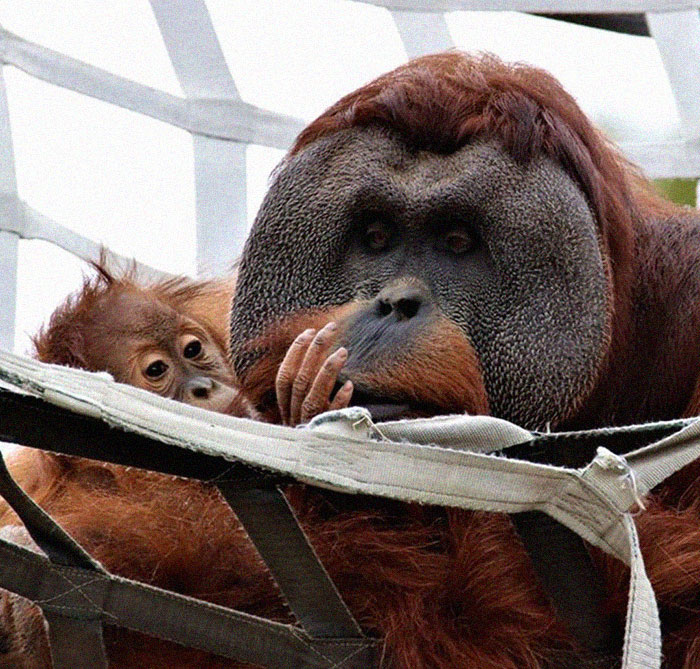 Very Uncommon In The Wild: Male Orangutan Steps Up To Take Care Of His Daughter After Mom's Death