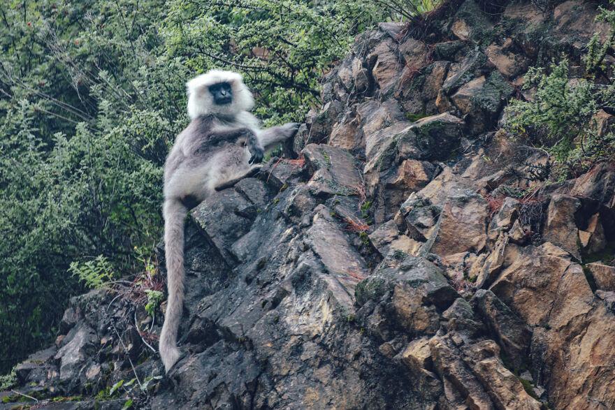 Monkey Of Good Omen Langur