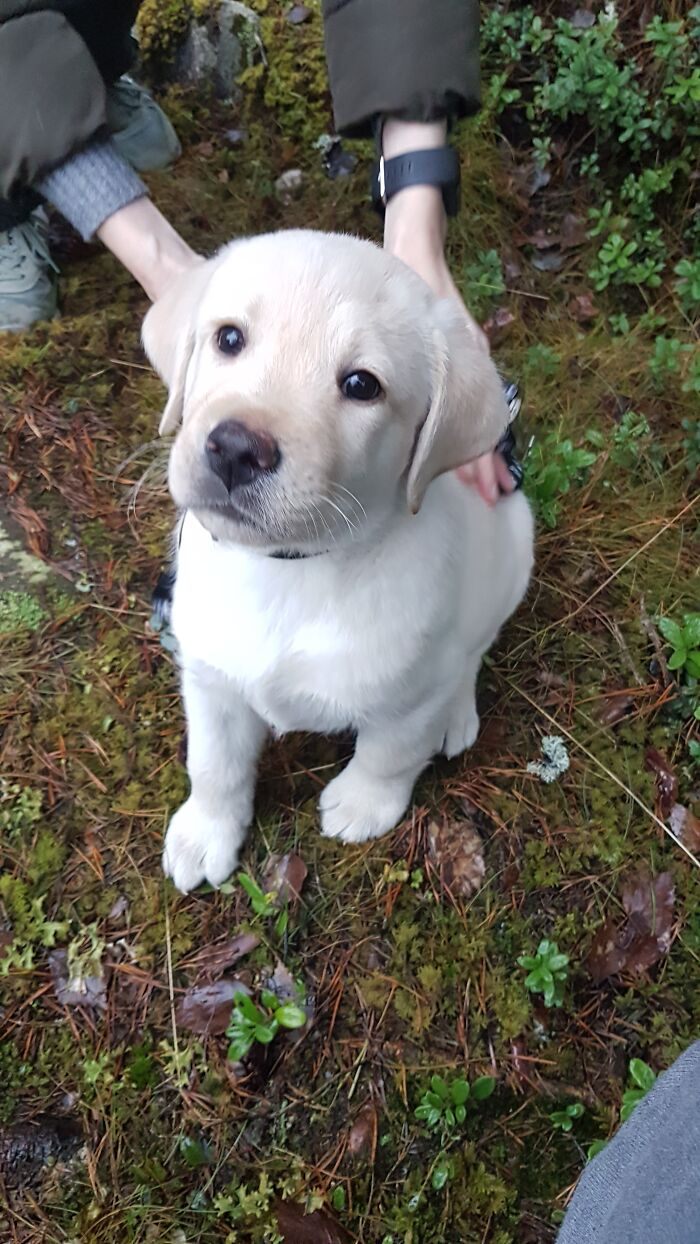 Onni( Luck) Is A Finish Labrador Retriever