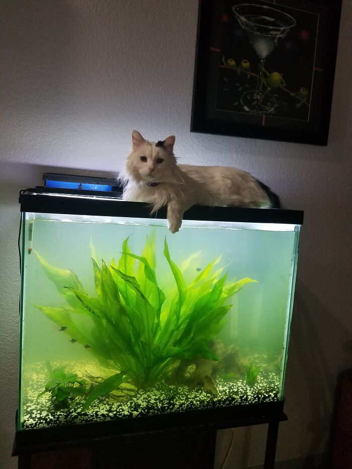 Oreo Saying High To The Fishies - Yes The Tank Is Cleaner Now