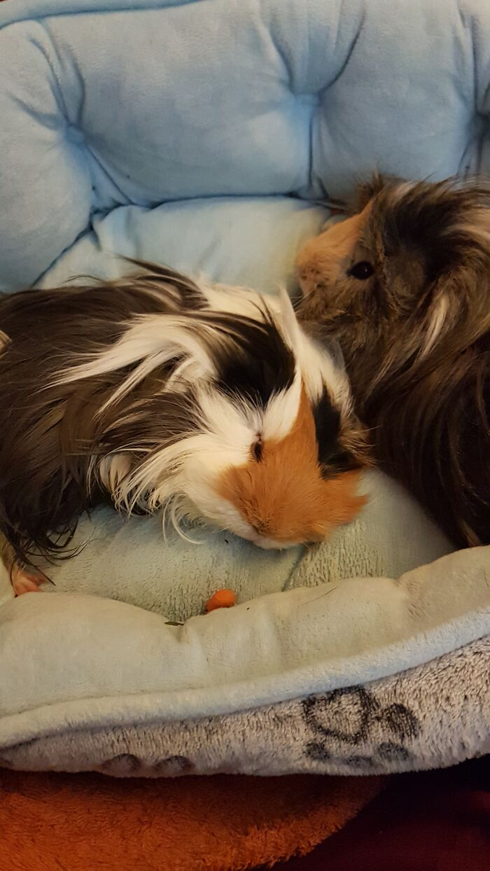 My Two Piggie Brothers Patches And Chewy!