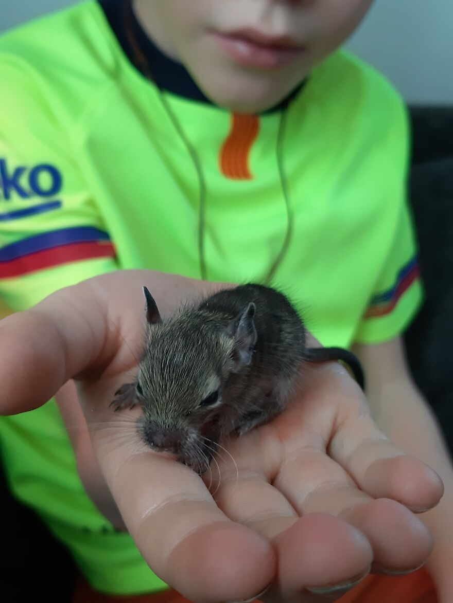 Rescued This Orphaned Degu, The Only One Of 6 Pups To Survive. She Was Only 14 Grams When We Got Her And Is Now Almost Fully Grown And Doing Great!