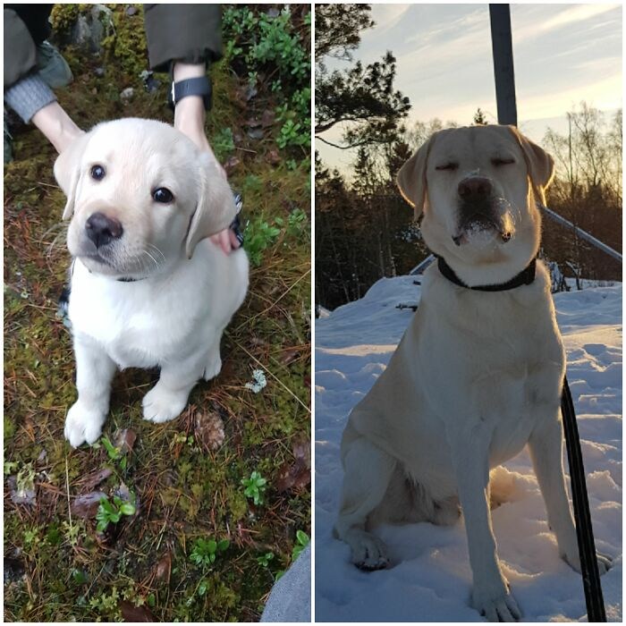 Onni (Luck) Is A Finish Labrador Retriever
