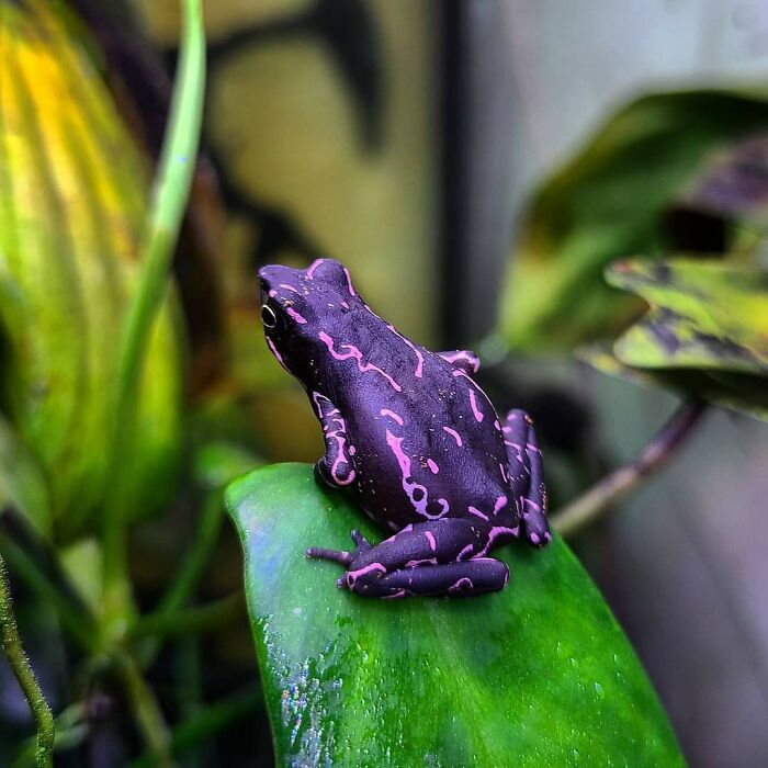 Atelopus Barbotini, A Purple Toad