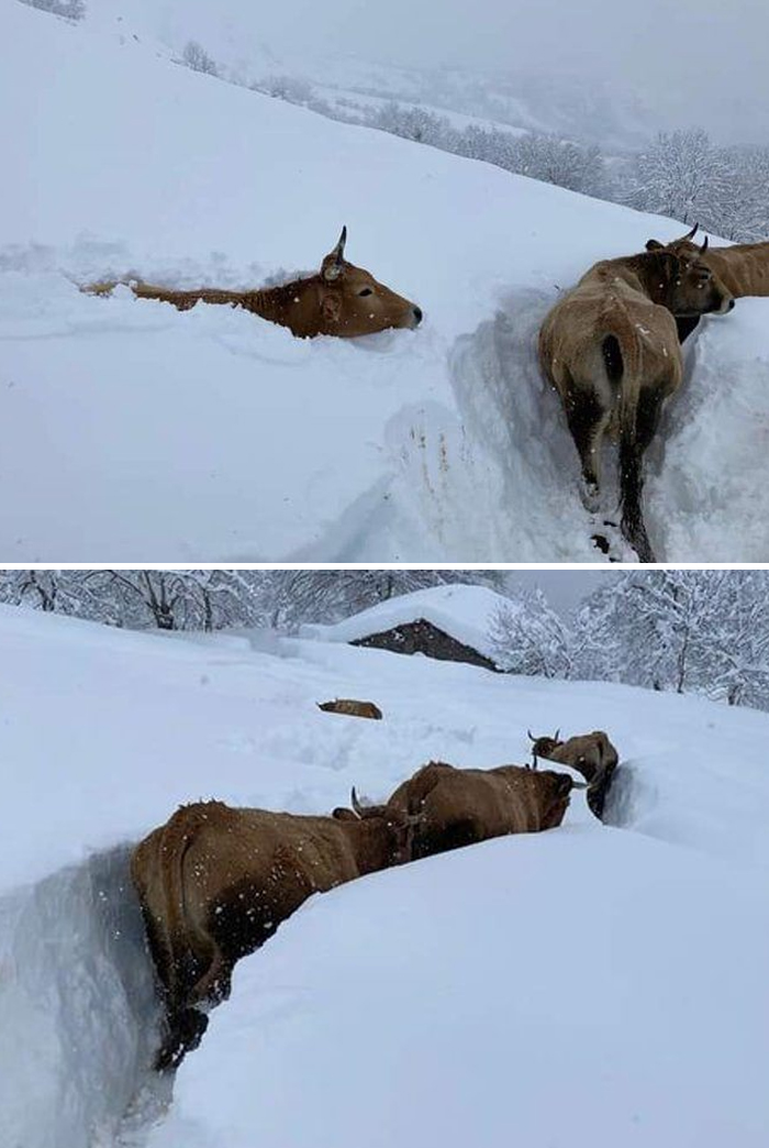Cows Making Their Way Through The Very Deep Snow Cover On The Slopes Of Montes De León In Northwestern Spain Yesterday, Jan 9th. Do You Think They Like The Snow Or Do They Just Want To Get To The Stables Asap?