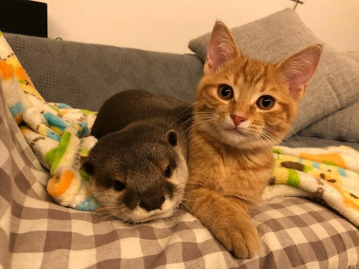 Pet Otter Cuddles Up To A Kitten As They Go To Sleep And 8M People On YouTube Are Captivated