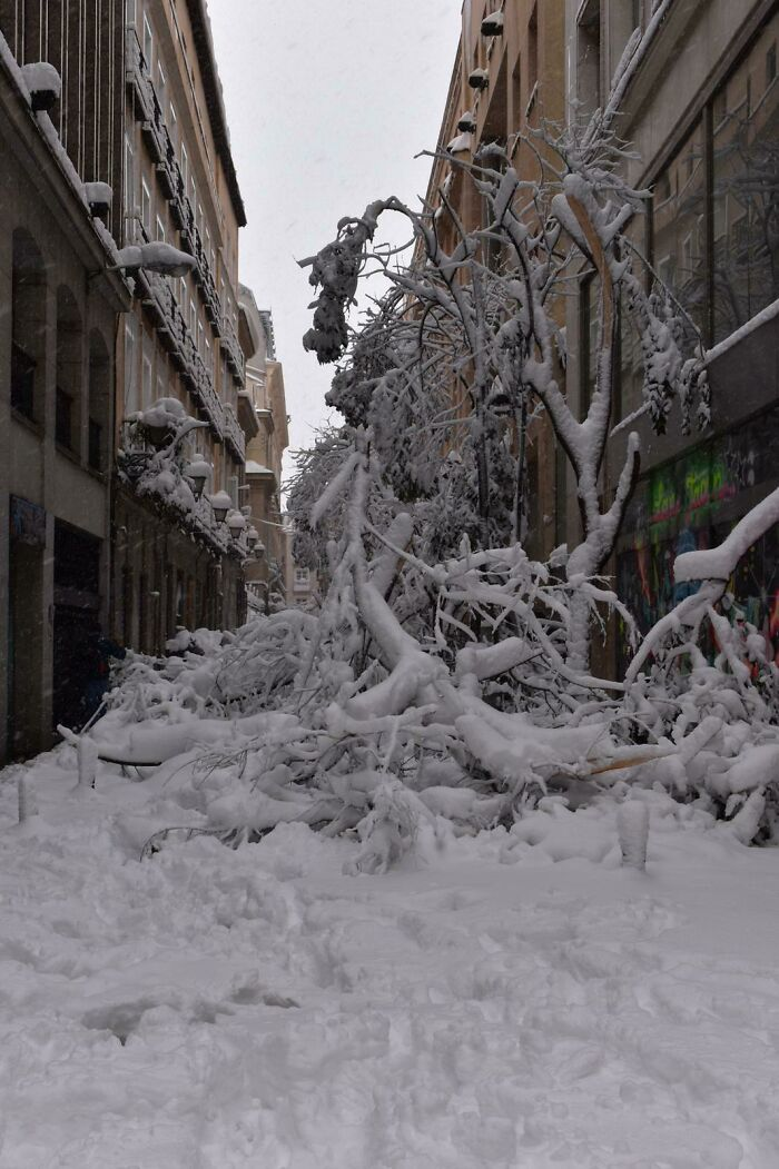 My Father's Car Is Down There. Many Trees Have Fallen After Biggest Snowfall In The Last Century In Downtown Madrid (Spain)