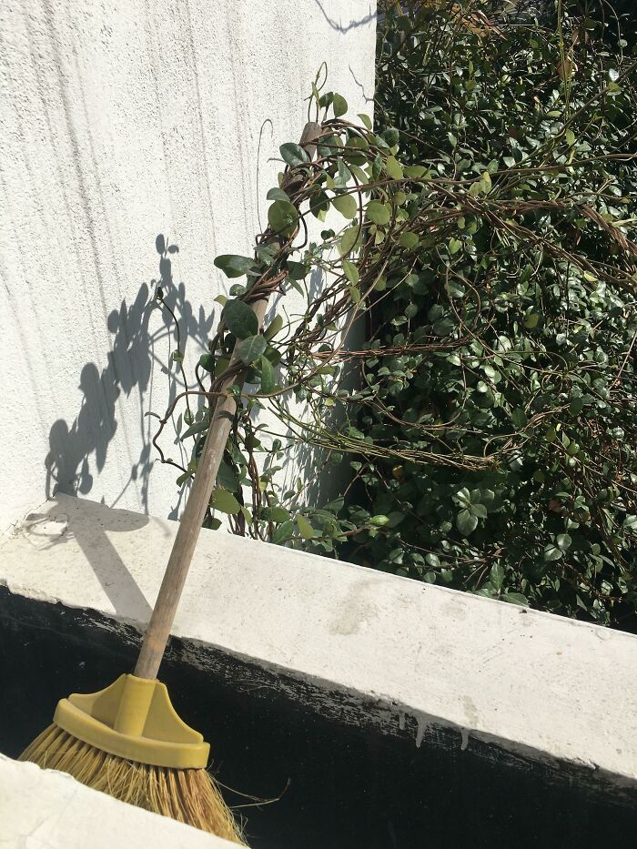 This Plant Has Been Trying To Stealthily Steal My Broom For Months