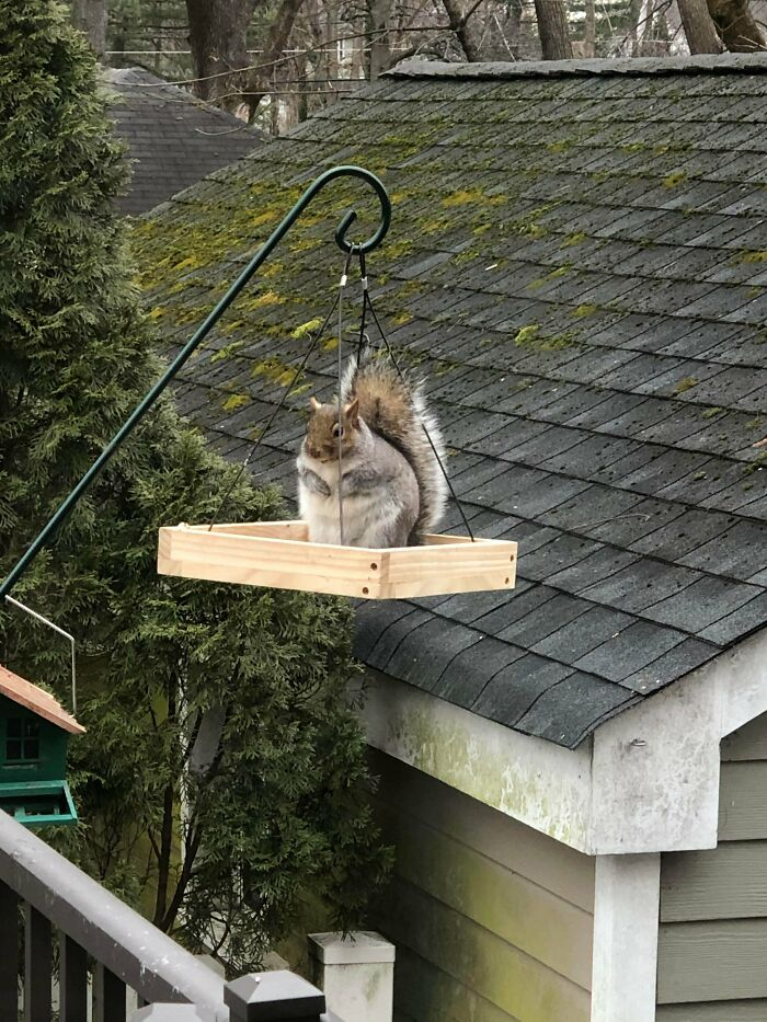 This Absolute Unit Of A Squirrel In My Back Yard