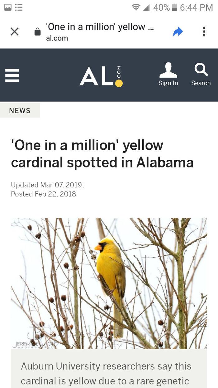 Shiny Cardinal