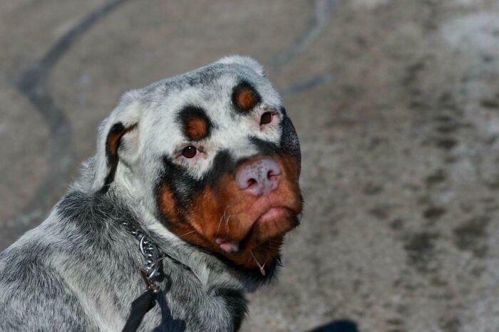 Shiny Rottweiler