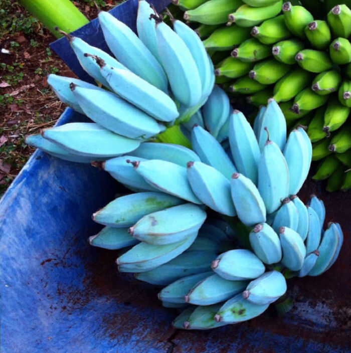 The Blue Java Banana Taste Like Vanilla Ice-Cream