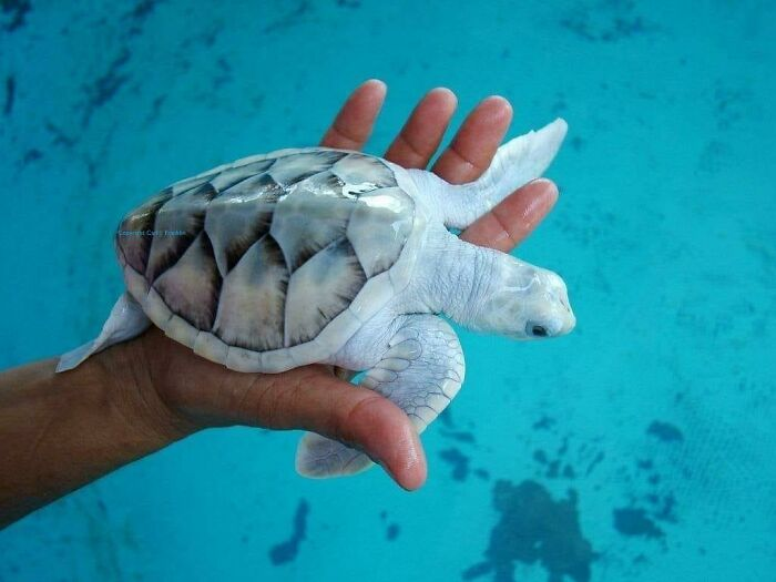Leucistic Sea Turtle Found On Fb
