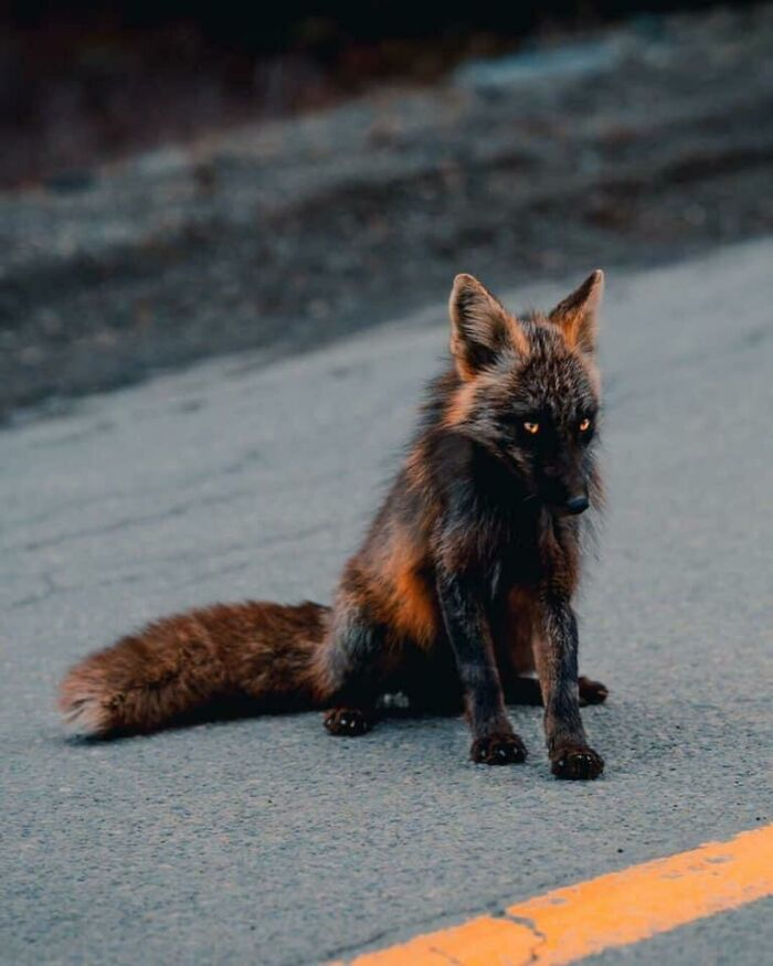 A Partially Melanistic Genetic Variation Called A Cross Fox