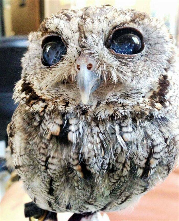 """Zeus"" The Blind Owl Has Beautiful Stars In Its Eyes"
