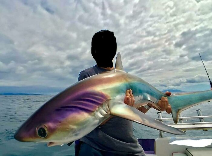 An Iridescent Thresher Shark